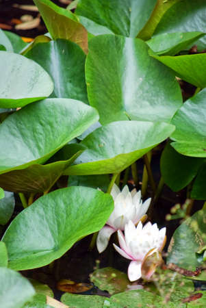 White water lillies resting on the surface of a pond with large green leaves in the background. Stock Photo - 7994474