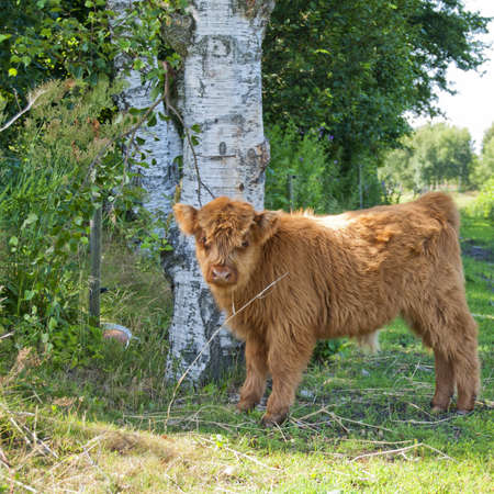 A hairy highland cow calf situated in a grazing pasture on a farm. photo