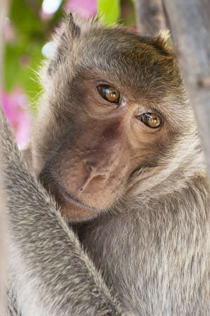 A macaque monkey from the mountain area of Khao Takiap in Hua Hin, Thailand photo