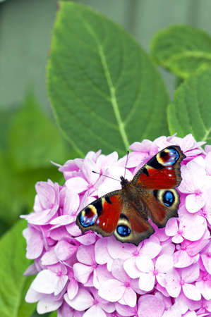 A red butterfly rests on a large pink flower in the garden. photo