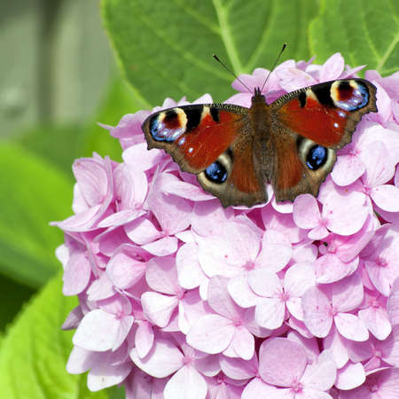 admiral: A red admiral butterfly rests on a pink hydrangea flower against a green leafy background. Stock Photo