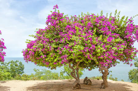 A Pink Bougainvillea Tree situated atop monkey mountain in Hua Hin, Thailand making the perfect shade for a family of monkeys. photo