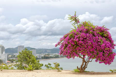 hin: A Pink Bougainvillea Tree situated atop monkey mountain in Hua Hin, Thailand overlooking various hotel resorts in the city.