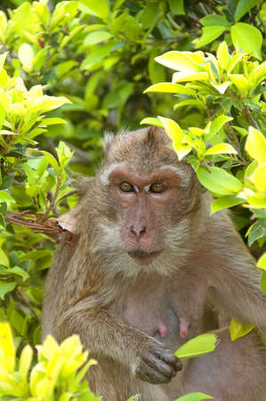 A Macaque Monkey in the Khao Takiap area of Hua Hin in Thailand  photo