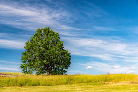A lonely tree overlooking a lush green field in the swedish countryside in summertime.