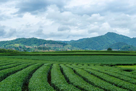 Beautiful landscape of oolong tea plantations on the hills background in cloudy weather in Singha Park, Chiang Rai, Northern Thailand Stock Photo