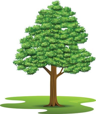 beech: Beech Tree