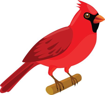 passerine: Cardinal