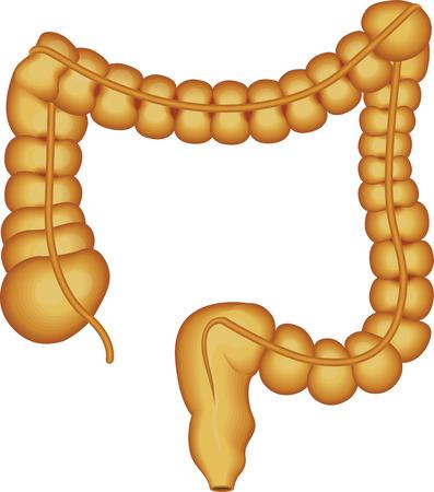 colon: Colon