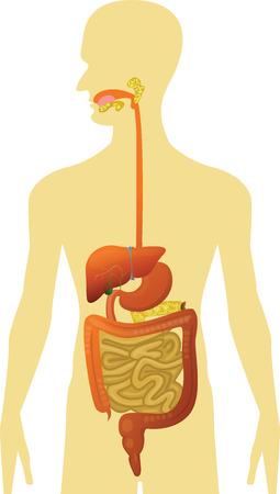 medical study: Corpo Umano - Apparato digerente Vettoriali