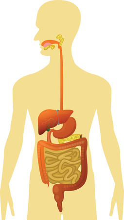 Human Body - Digestive System Vector