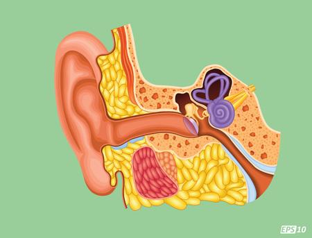the cochlea: Human Ear - Cross section