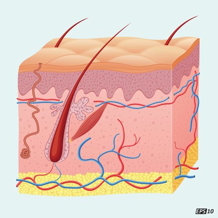 physiology: Human Hair Follicle
