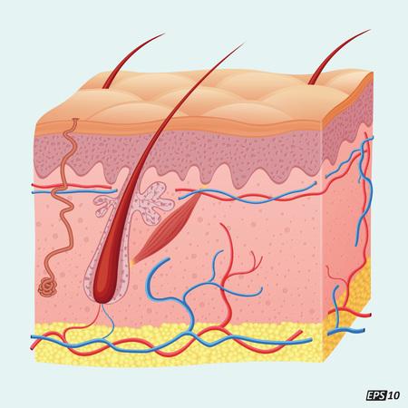 anatomy body: Human Hair Follicle