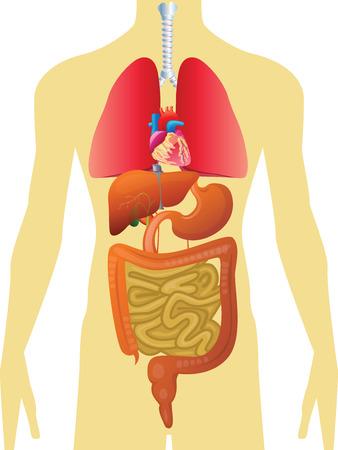 organos internos: Cuerpo Humano - Órganos Internos