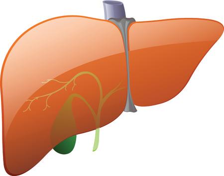 higado humano: Hígado