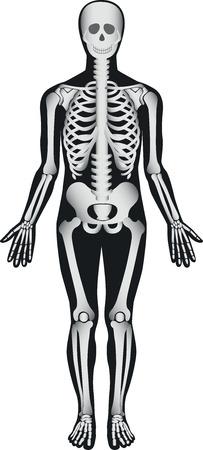 rib cage: Human Skeleton - Male