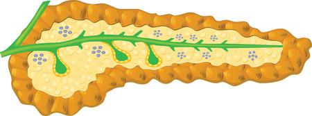 pancreas: Human Pancreas Illustration