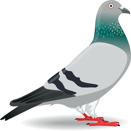 paloma caricatura: Pigeon o Dove
