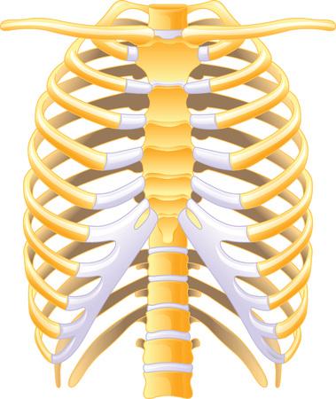 rib cage: Rib cage - Human Illustration