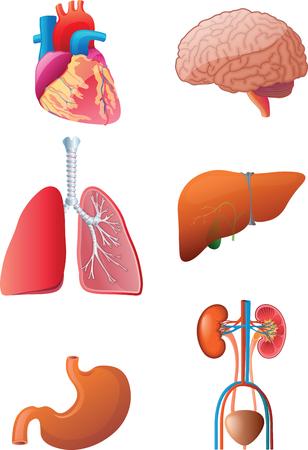 Vital Internal Organs Vector