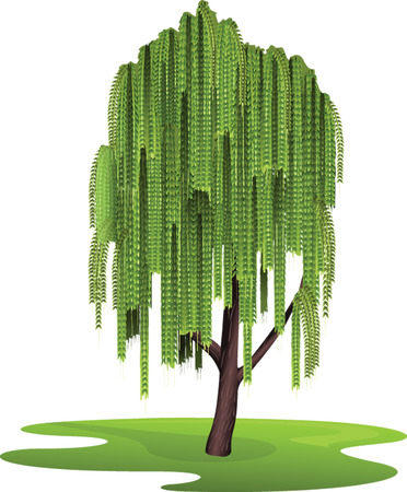 weeping willow tree: Tree weeping willow Illustration