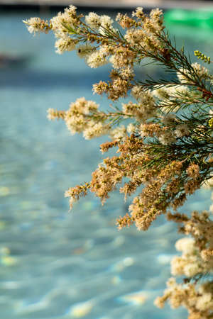 Tamarisk bush with flowers and a blue pool background