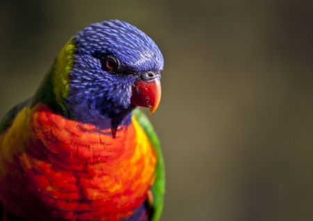 bluey: Rainbow Loikeet feeding at Merimbula Stock Photo