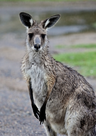 soggy: Soggy kangaroo caught in the rain