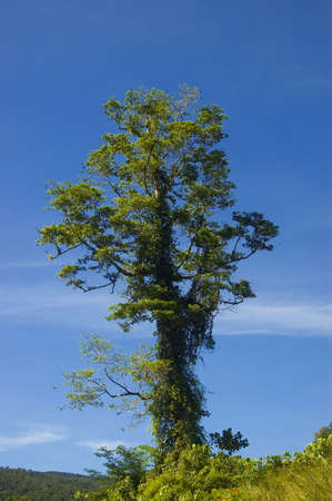 One of the remaining trees left from logging in the lowland of Palanan, Isabela, Philippines Stock Photo - 2237670
