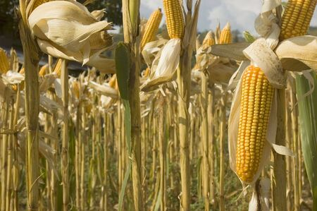 Yellow corn ready for harvest in Ilocos Province, Philippines Stock Photo