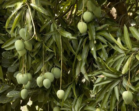 the fruitful: Mangoes for the picking, Philippines