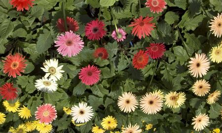 Gerberas for sale in Tagaytay City, Philippines photo