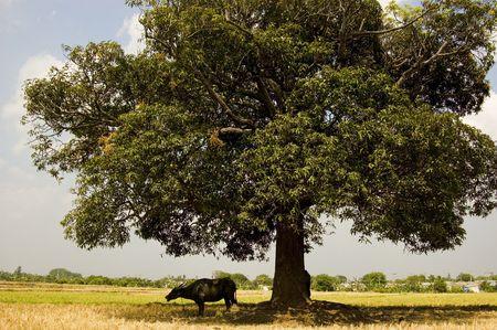 Carabao in shade Stock Photo - 2237779