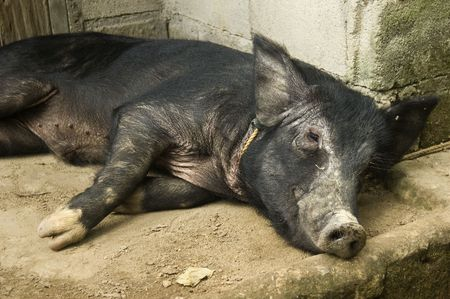 Black pig on its side Stock Photo - 2237705