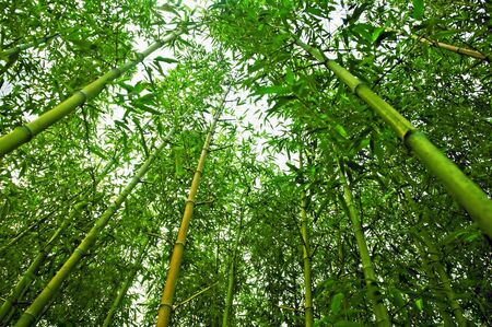 Worm's eye view of bamboo trees in a park in Shanghai, China Standard-Bild