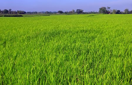 ricefield: Early morning wide shot of ricefield; Southern Luzon; Philippines Stock Photo