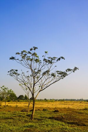 ricefield: Tree in the middle of a dry ricefield; shot against blue sky Stock Photo