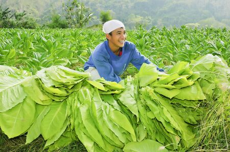 CANDON, ILOCOS SUR, PHILIPPINES - MARCH 30: Unidentified young tobacco farmer harvests mature leaves of tobacco on March 30, 2007 in Candon, Ilocos Philippines.  Tobacco is a major livelihood product of Ilocos Province. Stock Photo - 10003899