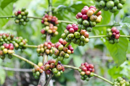 Closeup of coffee beans hanging on trees in a Philippine coffee plantation