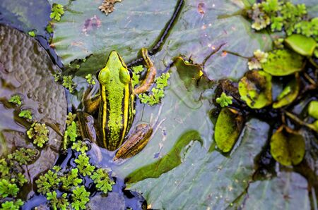 Green frog with yellow stripes in its natural habitat Stock Photo - 13492688