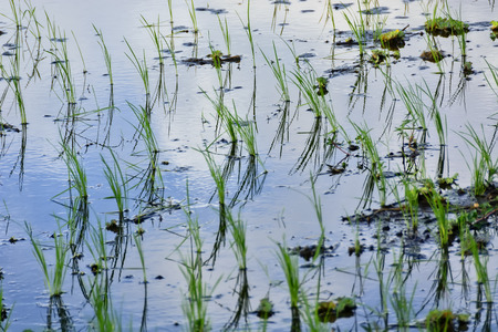 flooded: Flooded newly planted rice seedlings in rice paddy.