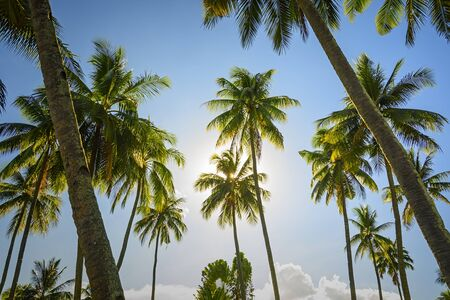 towering: Towering coconut trees against blue sky and sunrise Stock Photo