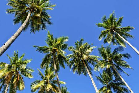 towering: Elev�ndose cocoteros contra el cielo azul sin nubes Foto de archivo