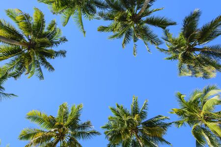 towering: Towering coconut trees against cloudless blue sky