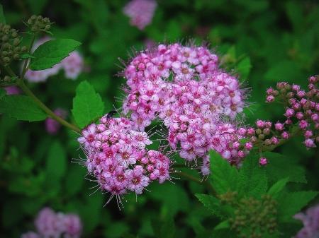 summer butterfly bush Stock Photo