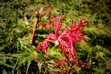 japanese maple: Japanese maple in a cool autumn morning