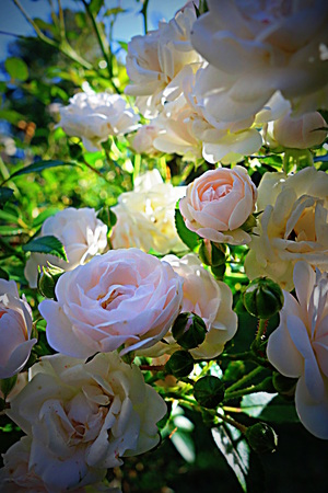 miniature roses in sunlight photo