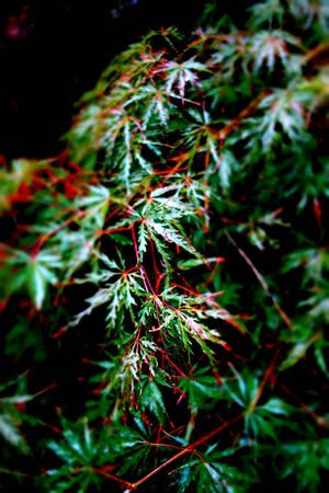 japanese maple: Late Summer Japanese Maple Leaves Stock Photo