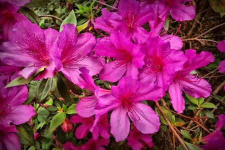 azaleas: Azaleas In Bloom Closeup Stock Photo